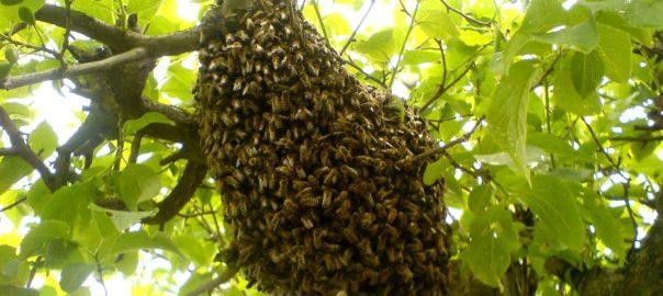 Bild Bienenschwarm